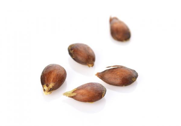 Cómo germinar semillas de manzana - Cómo germinar semillas de manzana - paso a paso