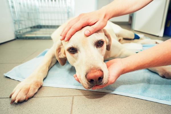 Metronidazol para perros: qué es, para qué sirve y dosis - Qué es el metronidazol para perros