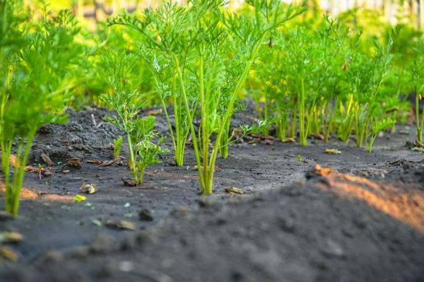 Cómo plantar zanahorias - Cómo plantar zanahorias - paso a paso