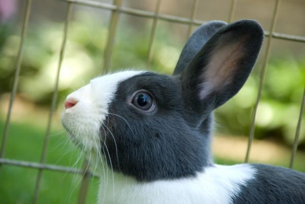 Conejo holandés: características y cuidados - Cómo cuidar al conejo holandés enano