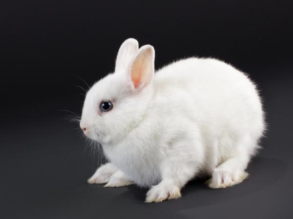 Conejo holandés: características y cuidados - Otras razas de conejos enanos