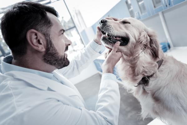 Granos en perros: causas y cómo curarlos - Mi perro tiene granos en la barbilla