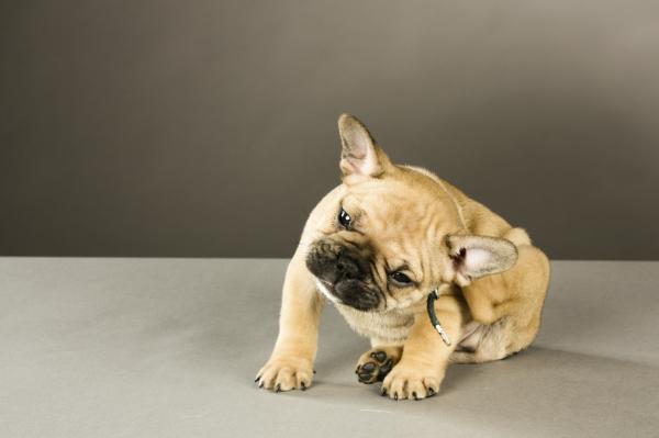 Granos en perros: causas y cómo curarlos -  Granos en perros por picaduras de parásitos externos