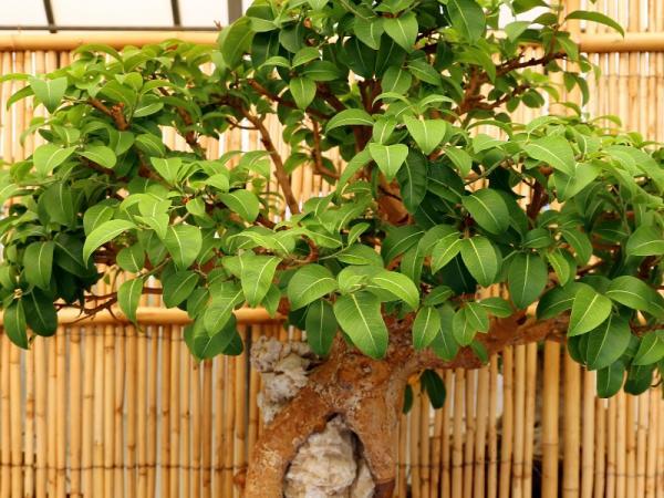Cómo cuidar un ficus ginseng - Guía de cuidados del bonsái ficus ginseng