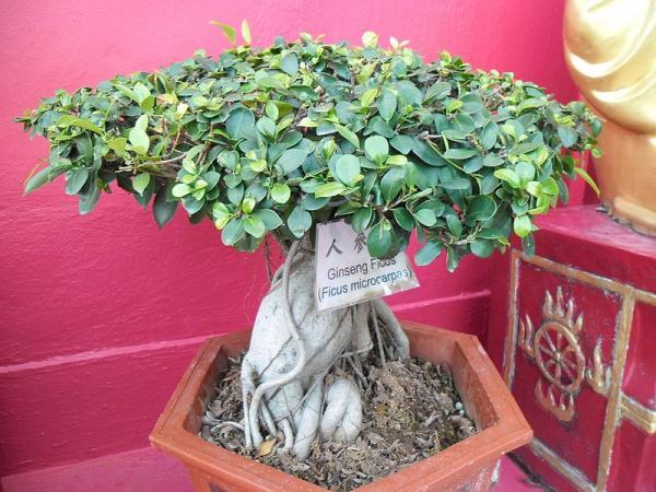 Cómo cuidar un ficus ginseng - Trucos para el mantenimiento de un bonsái ficus ginseng