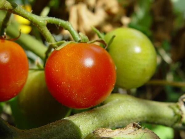 Cómo plantar y cultivar tomates cherry - Cómo cultivar tomates cherry
