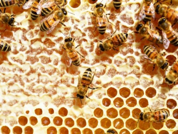 Cómo hacen la miel las abejas - Qué producen las abejas