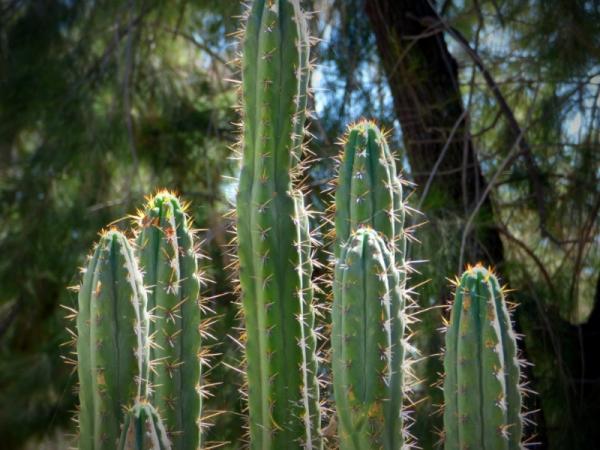 11 plantas que tienen espinas - Cactus, las plantas con espinas por excelencia