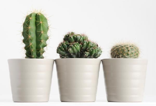 11 plantas que tienen espinas - Por qué las plantas tienen espinas o pinchos