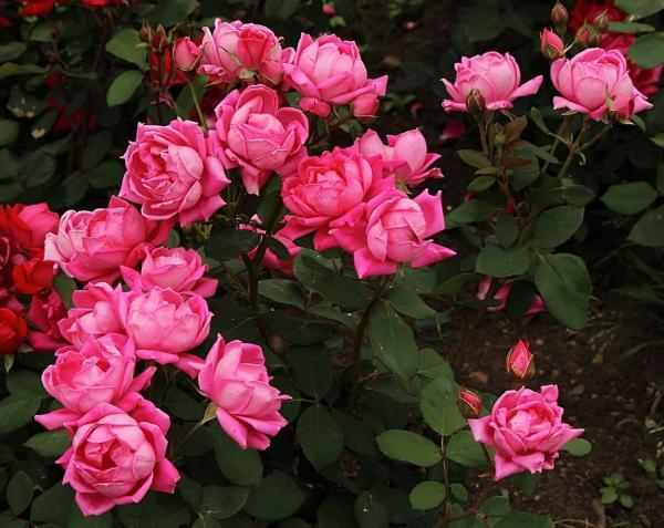 11 plantas que tienen espinas - Rosas con espinas