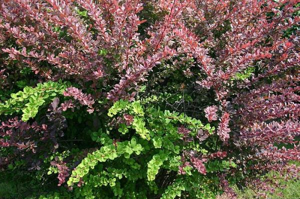 11 plantas que tienen espinas - Tipos de arbustos espinosos