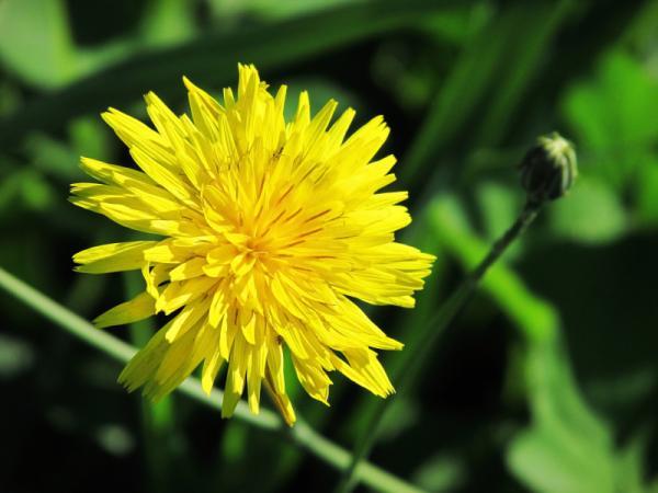 10 plantas silvestres comestibles - Diente de león (Taraxacum officinale)