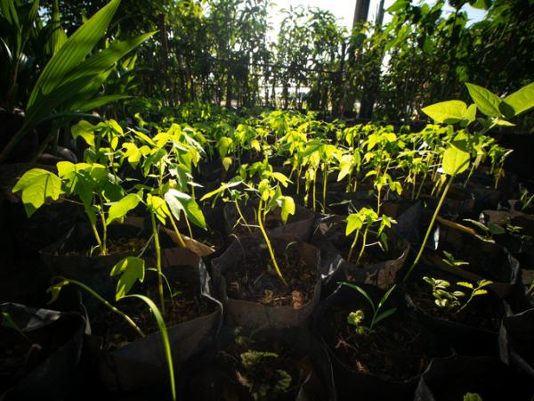 Cómo sembrar papaya - Sembrar una planta de papaya en maceta