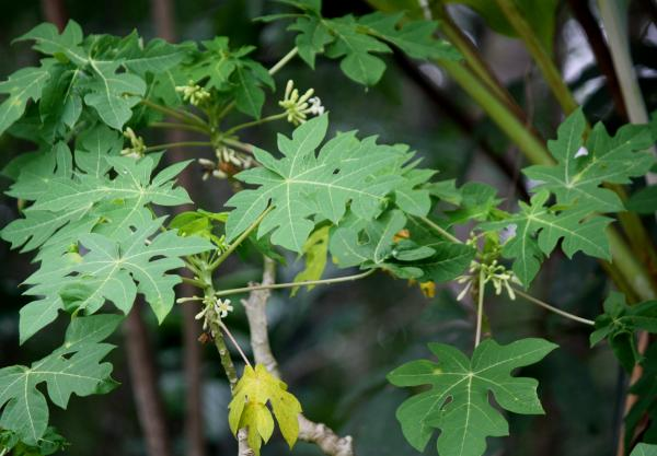 Cómo sembrar papaya - Planta de la papaya: macho, hembra o hermafrodita