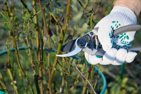 Cómo hacer y plantar esquejes de rosal - Cómo plantar un rosal sin raíces: plantar esquejes