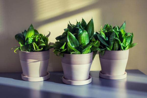 15 plantas para oficinas - Sansevieria