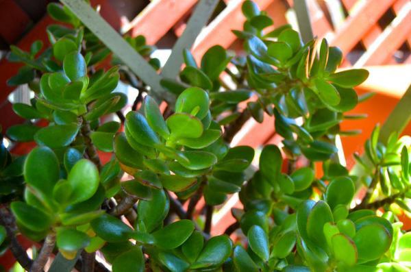 15 plantas para oficinas - Planta de jade