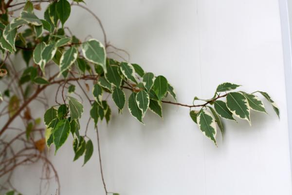 15 plantas para oficinas - Ficus Benjamina