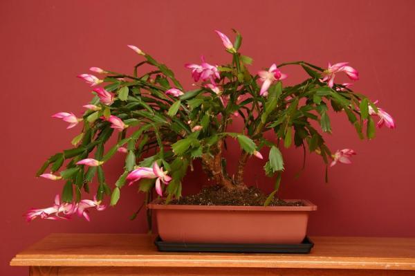 15 plantas para oficinas - Cactus de Navidad