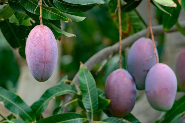 Cómo sembrar mango - Cómo sembrar mango en maceta