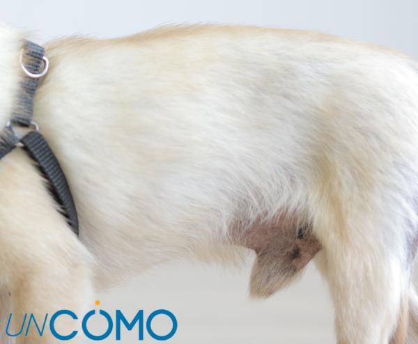 Por qué mi perro tiene pus en el pene - Pus en el pene del perro - causas principales