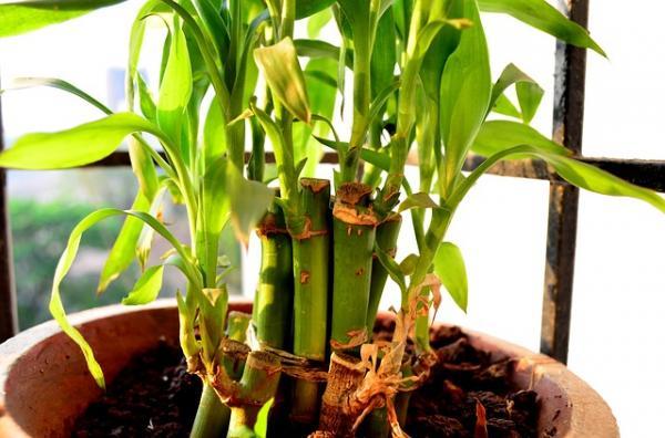 Cómo plantar bambú - Cómo plantar bambú en una maceta paso a paso