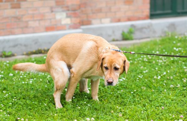 Mi perro tiene diarrea y vómito, ¿qué le puedo dar? - Por qué mi perro tiene diarrea y vómito - las causas