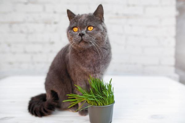 Hierba gatera o catnip: qué es, para qué sirve y propiedades - Qué es la hierba gatera o catnip