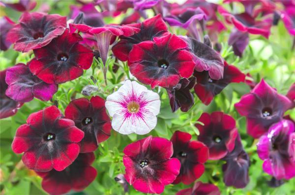 18 plantas de sol y sombra: nombres y características - Planta petunia: cuidados, significado y reproducción