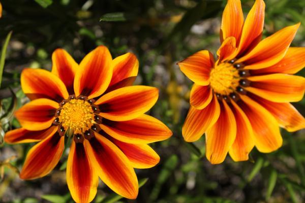 18 plantas de sol y sombra: nombres y características - Gazania: cuidados, flor y nombre