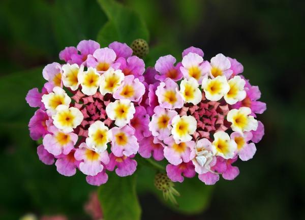 18 plantas de sol y sombra: nombres y características - Flor de duende: cuidados, nombre y características