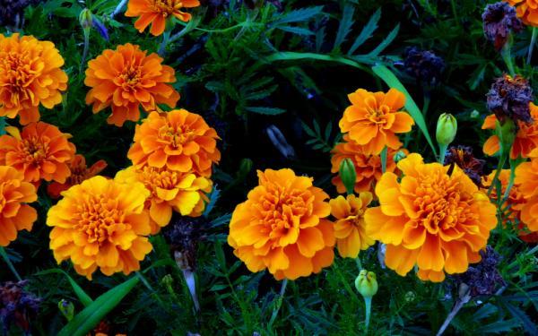18 plantas de sol y sombra: nombres y características - Clavel chino: cuidados, nombre científico y características