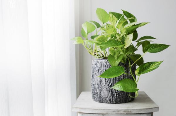 18 plantas de sol y sombra: nombres y características - Potos: cuidados y características
