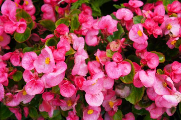 18 plantas de sol y sombra: nombres y características - Begonia: cuidados y características