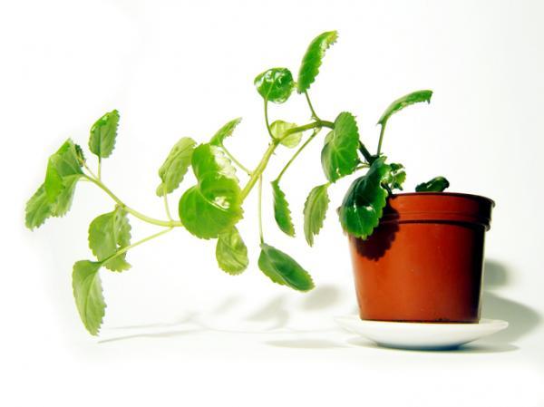 18 plantas de sol y sombra: nombres y características - Planta del dinero: cuidados y características