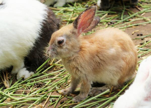 Sarna en conejos: síntomas y cómo curarla - Contagio de la sarna en conejos