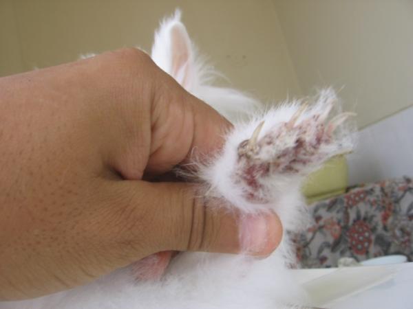 Sarna en conejos: síntomas y cómo curarla - Qué es la sarna en los conejos