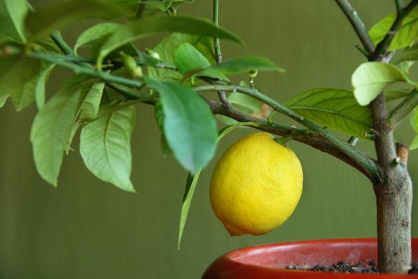 Cuidados del limonero en maceta - Temperaturas que soporta un limonero