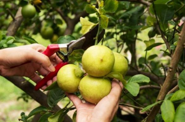 Cuidados del limonero en maceta - Cuándo podar el limonero
