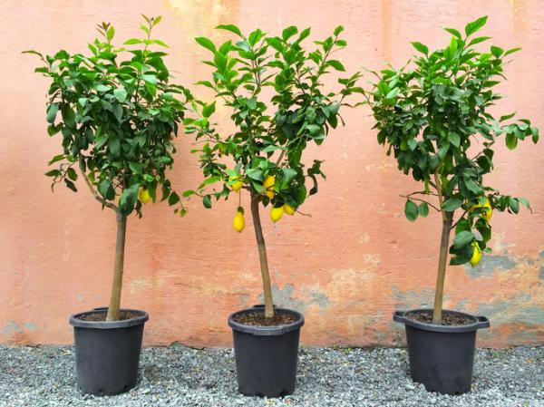 Cuidados del limonero en maceta - Cuántas horas de luz necesita un limonero
