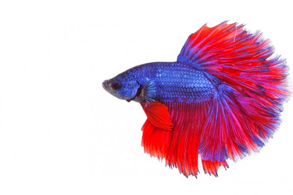 Por qué mi pez betta no come y no se mueve - Tu pez betta no come ni se mueve por estrés