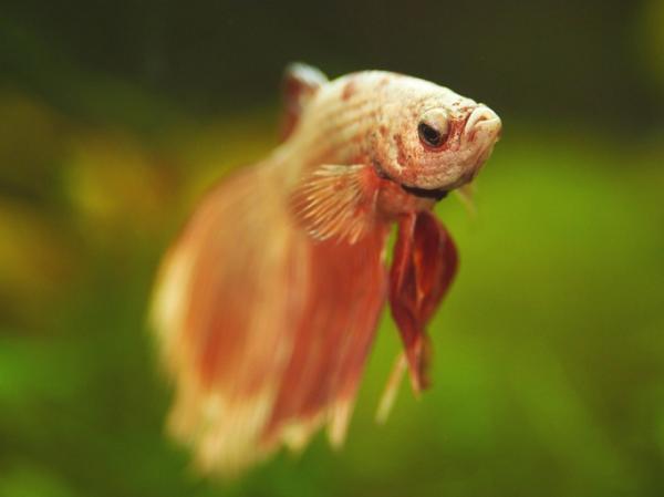 Por qué mi pez betta no come y no se mueve - No tiene hambre