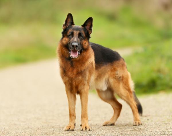 12 razas de perros que parecen lobos - Pastor alemán