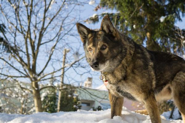 12 razas de perros que parecen lobos - Wolfdog