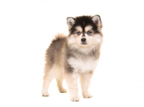 12 razas de perros que parecen lobos - Pomsky