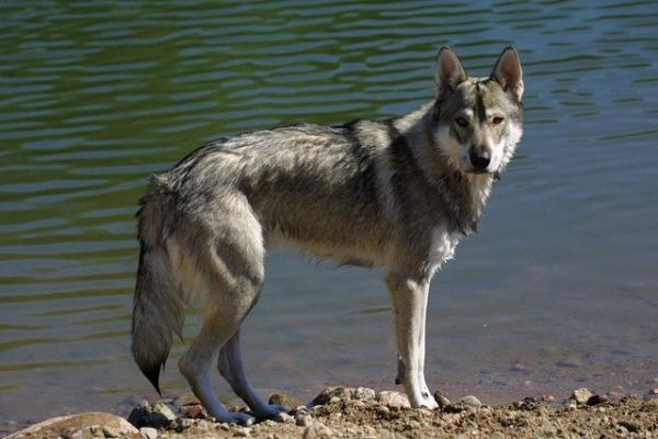 12 razas de perros que parecen lobos - Tamaskan, una de las razas de perros que más se parecen a lobos