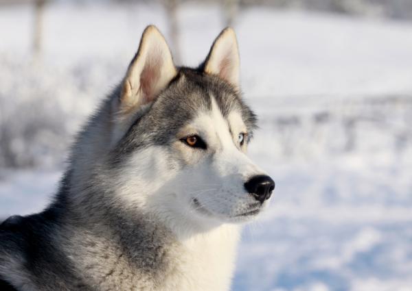 12 razas de perros que parecen lobos - Husky siberiano