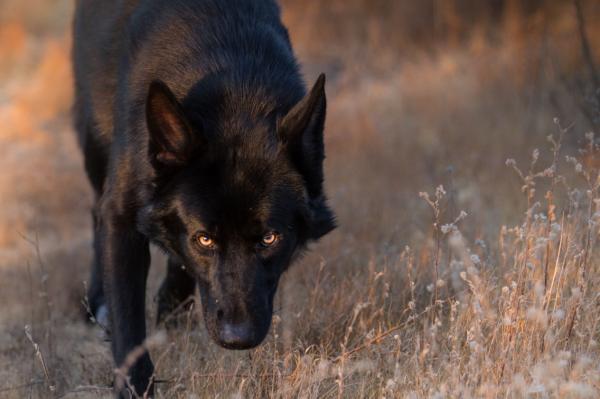 12 razas de perros que parecen lobos - Calupoh, el perro lobo mexicano