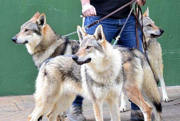 12 razas de perros que parecen lobos - Wolfdog o perro lobo checoslovaco