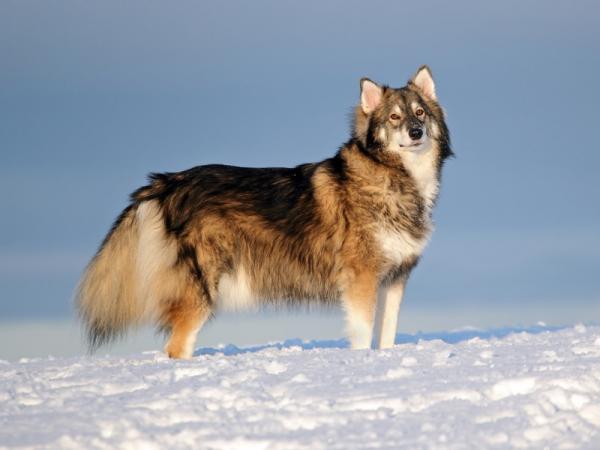12 razas de perros que parecen lobos - Utonagan